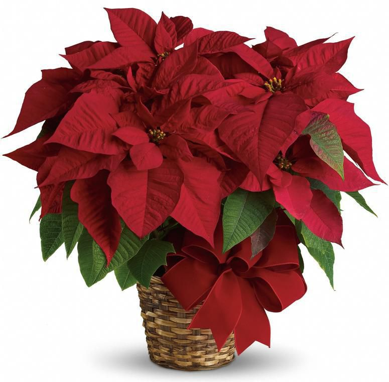 Tips For The Care Of Holiday Poinsettia Plants From
