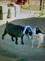 The Pirate and the Witch, a Goat story!
